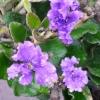 Picture of Dampiera Purpurea