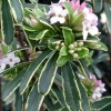 Picture of Daphne Burkwoodii Variegata