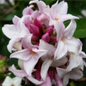 Picture of Daphne Perfume Princess