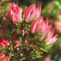 Picture of Darwinia taxifolia macrolinea