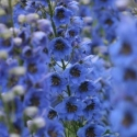 Picture of Delphinium Black Eyed Sailors