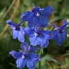 Picture of Delphinium Blue Butterfly