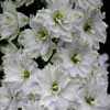 Picture of Delphinium Double Innocence