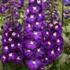 Picture of Delphinium Purple Passion