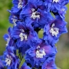 Picture of Delphinium Royal Aspirations