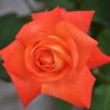 Picture of Desert Spice-Rose