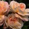 Picture of Desprez a Fleurs Jaunes Clg-Rose