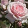Picture of Diadem-Rose