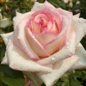 Picture of Diamond Design-Rose
