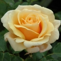 Picture of Diamond Jubilee-Rose