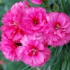 Picture of Dianthus Slap n Tickle