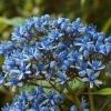 Picture of Dichroa Blue Sapphire