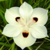 Picture of Dietes Bicolor