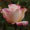 Picture of Double Delight Std 80cm-Rose