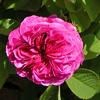 Picture of Duc de Cambridge-Rose
