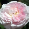Picture of Duchesse de Montebello-Rose