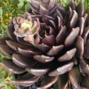 Picture of Echeveria Black Prince