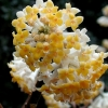 Picture of Edgeworthia Grandiflora