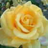 Picture of Eldorado-Rose