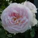 Picture of Emilys Rose Clg-Rose