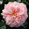 Picture of Enchantment Std 80cm-Rose
