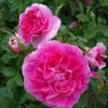Picture of Englands Rose-Rose