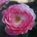 Picture of English Miss-Rose