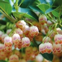 Picture of Enkianthus campanulata