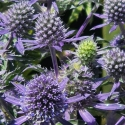Picture of Eryngium Blue Hobbit