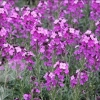 Picture of Erysimum Bowles Mauve