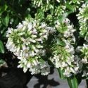Picture of Escallonia Snowbud