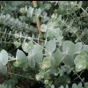 Picture of Eucalyptus Baby Blue