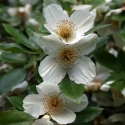Picture of Eucryphia Nymansay