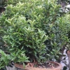 Picture of Euonymus Emerald Gem 4 Pack