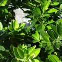Picture of Euonymus Green Gem