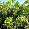 Picture of Euphorbia Ascot Jade