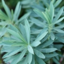 Picture of Euphorbia Glauca