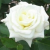 Picture of Evening Star-Rose