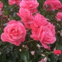 Picture of Everlasting Hope-Rose