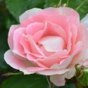 Picture of Eye Candy-Rose