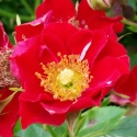 Picture of Eyeopener-Rose