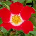 Picture of Eyepaint-Rose