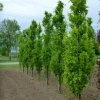 Picture of Fagus Dawyck Green