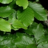 Picture of Fagus Sylvatica