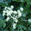 Picture of Fatsia Japonica