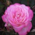 Picture of Feeling Better Std 80 cm-Rose
