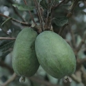 Picture of Feijoa Dens Choice