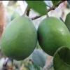 Picture of Feijoa Marion