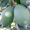 Picture of Feijoa Opal Star