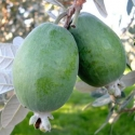 Picture of Feijoa Pounamu